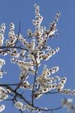 Niederlassung der blühenden Aprikose Stockfoto