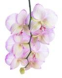 Niederlassung der blühenden schönen abgestreiften lila Orchideenblume Stockfoto