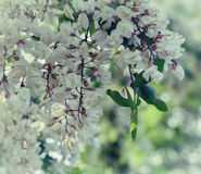 Niederlassung der blühenden weißen Akazie Stockfotos