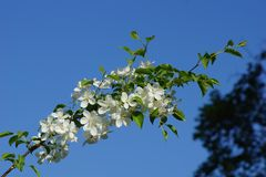 Niederlassung der blühenden weißen Kirsche im beginni blauer Himmel des Gartens Lizenzfreies Stockfoto