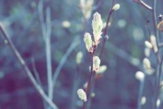 Niederlassung der blühenden weißen Kirsche im beginni blauer Himmel des Gartens Lizenzfreies Stockbild