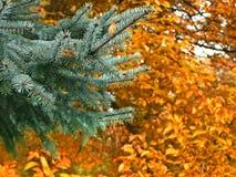 Niederlassung der Blautanne im Herbst Stockfotografie