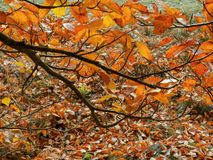 Niederlassung der Buche mit goldenem Herbstlaub 2 Stockfotografie