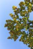 Niederlassung der Eiche im Herbst Lizenzfreie Stockfotografie