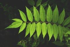 Niederlassung der frischen grünen Blattnahaufnahme Lizenzfreies Stockbild