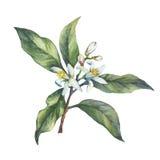 Niederlassung der frischen Zitrusfruchtzitrone mit Grünblättern und -blumen Stockfotografie