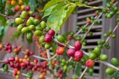 Niederlassung der Kaffeeanlage mit verschiedener Farbe der Beere, hölzerner Jalousie Lizenzfreie Stockfotos