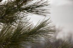 Niederlassung der Kiefers mit grüner Farbe der Tannenadeln Früher Frühling stockfotografie