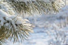 Niederlassung der Kiefers umfasst mit Schnee Stockbild
