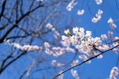 Niederlassung der Kirschblüte Stockfotos