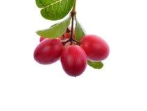 Niederlassung der kleinen rosa Frucht Carunda oder Karonda Lizenzfreie Stockfotografie
