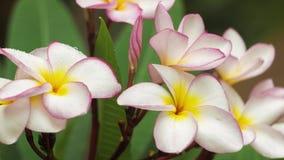Niederlassung der lila Plumeriablume abgedeckt durch etwas Tropfen nach tropischem Regen, flache Schärfentiefe stock footage