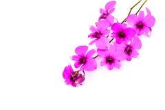 Niederlassung der Orchideenblume lokalisiert auf Weiß Lizenzfreie Stockfotografie