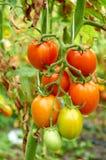Niederlassung der roten Tomate auf Gemüsegarten Lizenzfreie Stockbilder
