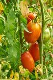 Niederlassung der roten Tomate auf Gemüsegarten Stockbilder