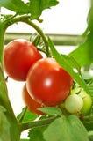 Niederlassung der roten Tomate auf Gemüsegarten Stockbild