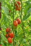 Niederlassung der roten Tomate auf Gemüsegarten Stockfotos