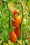 Niederlassung der roten Tomate auf Gemüsegarten Stockfoto