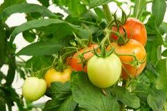 Niederlassung der roten Tomate auf Gemüsegarten Lizenzfreie Stockfotos