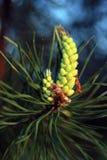 Niederlassung der schönen blühenden Kiefers mit grünen langen Nadeln stockfotos