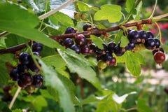 Niederlassung der Schwarzen Johannisbeere im Garten Stockbilder