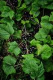 Niederlassung der Schwarzen Johannisbeere mit Beeren und Blättern lizenzfreies stockfoto