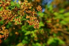 Niederlassung der Schwarzen Johannisbeere mit blühenden Blumen lizenzfreie stockbilder