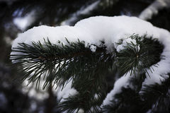 Niederlassung der Tanne im Schnee Stockfotografie