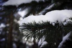 Niederlassung der Tanne im Schnee Lizenzfreies Stockfoto