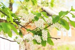 Niederlassung der Vogelkirsche in der Blütezeit stockbilder