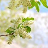 Niederlassung der Vogelkirsche in der Blütezeit Frühling kommt stockbild