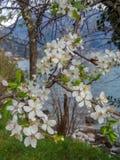 Niederlassung der weißen Blume der Blüte während des Frühjahres nahe dem Meer lizenzfreie stockbilder