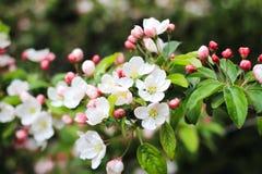 Niederlassung der weißen Blumen Stockfoto