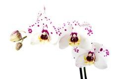 Niederlassung der weißen Orchideenblume stockbild