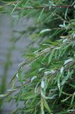 Niederlassung der Weide nach Regen stockfotografie