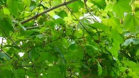 Niederlassung des Ahorns mit Samen auf Wind Sehen Sie meine anderen Arbeiten im Portfolio HD-Videoaufnahmenschießen der statische stock footage