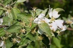 Niederlassung des Apfels verbläßt Der BlumenAbfall der Blumenblätter weg Lizenzfreies Stockbild