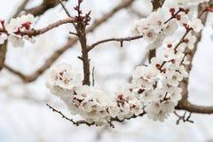 Niederlassung des Aprikosenbaums im Zeitraum des Frühlingsblühens Lizenzfreies Stockbild
