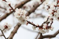 Niederlassung des Aprikosenbaums im Zeitraum des Frühlingsblühens Lizenzfreies Stockfoto