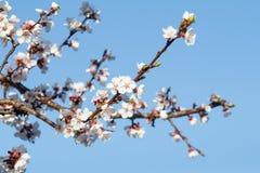 Niederlassung des Aprikosenbaums im Zeitraum des Frühlingsblühens Lizenzfreie Stockfotos