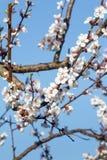 Niederlassung des Aprikosenbaums im Zeitraum des Frühlingsblühens Stockbild