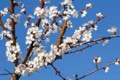 Niederlassung des Aprikosenbaums im Zeitraum des Frühlingsblühens Lizenzfreie Stockfotografie