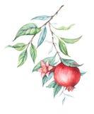 Niederlassung des Aquarellgranatapfels (Granat) Stockbild