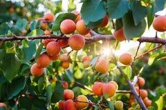 Niederlassung des Baums mit reifen Aprikosen stockbilder