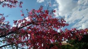 Niederlassung des Baumwollbaums in der Blüte Lizenzfreie Stockbilder