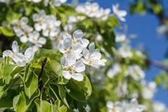 Niederlassung des Birnenbaums im Zeitraum des Frühlingsblühens Lizenzfreie Stockbilder