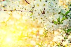 Niederlassung des blühenden Kirschbaums am Abend Stockbild