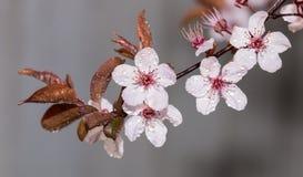 Niederlassung des blühenden Pflaumenbaums auf grauem Hintergrund Lizenzfreies Stockbild