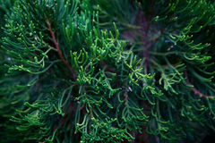 Niederlassung des dekorativen Nadelzypressen-Dunkelheitshintergrundes Stockfoto