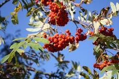 Niederlassung des Ebereschebaums Stockbild